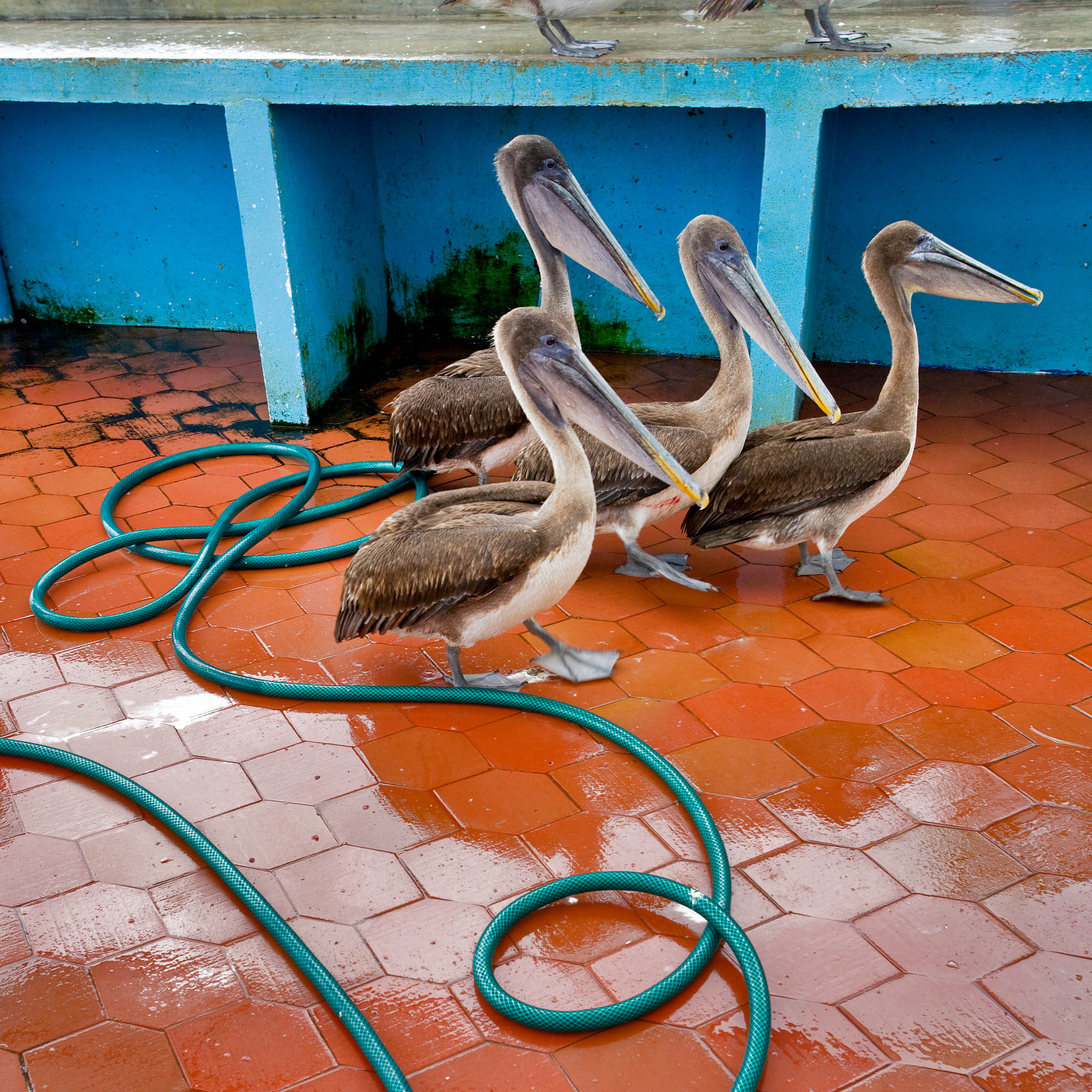 Pelicans at the Fish Market on Santa Cruz in Puerto Ayora